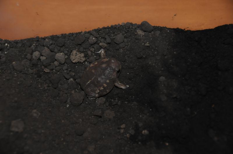 掘ったばかりのカエル
