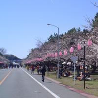 【ミリタリー魂】第35戦 桜満開の「土浦武器学校桜祭り」に突撃!