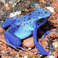 【無所可用】第43話 カエル界の宝石~ヤドクガエル飼育のおは…