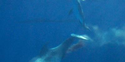 鴨川シーワールドのイルカの出産シーンが感動的―出産シーンの写真有り