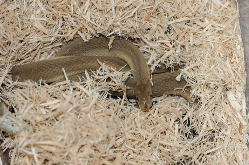 タマゴヘビ画像