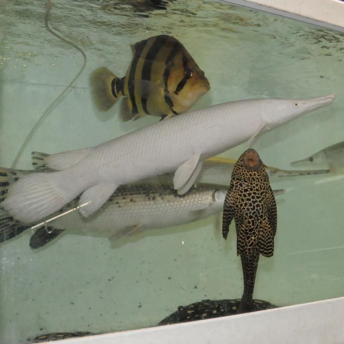 無所可用】第57回 憧れの大型魚飼育~大型熱帯魚のお店を訪問の ...