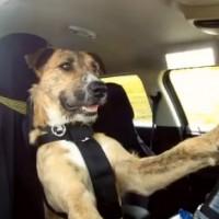 Drivingdogs