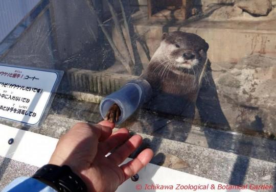 市川市動植物園のコツメカワウソ