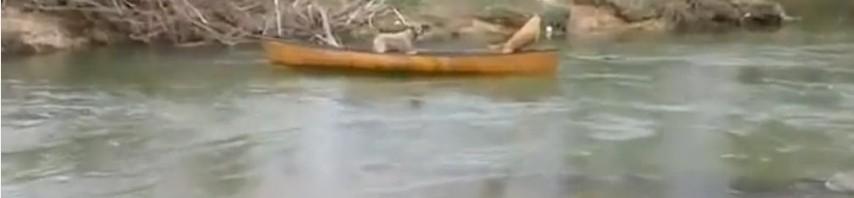 決死の覚悟で川に飛び込み仲間を助けたラブラドールが凄い!