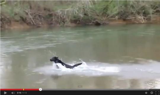 「ワオーーン」という鳴き声とともにラブラドールが川へ