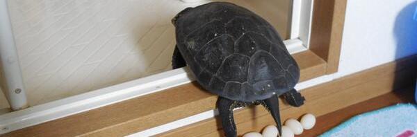 朝風呂場に行ったら亀がモリモリ産卵してた件
