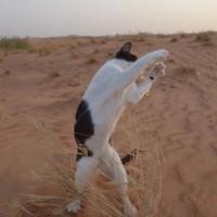 砂漠でストイックにシャドーボクシングする猫