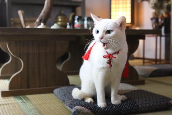 """ツンデレ白猫""""玉之丞"""""""