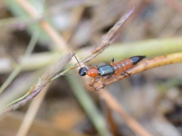 アオバアリガタハネカクシ(俗称:やけど虫)