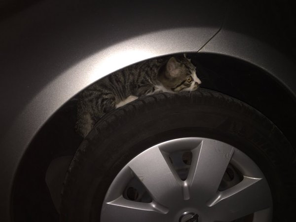 ドライバーの方はご用心!走行直後のタイヤで暖をとる猫
