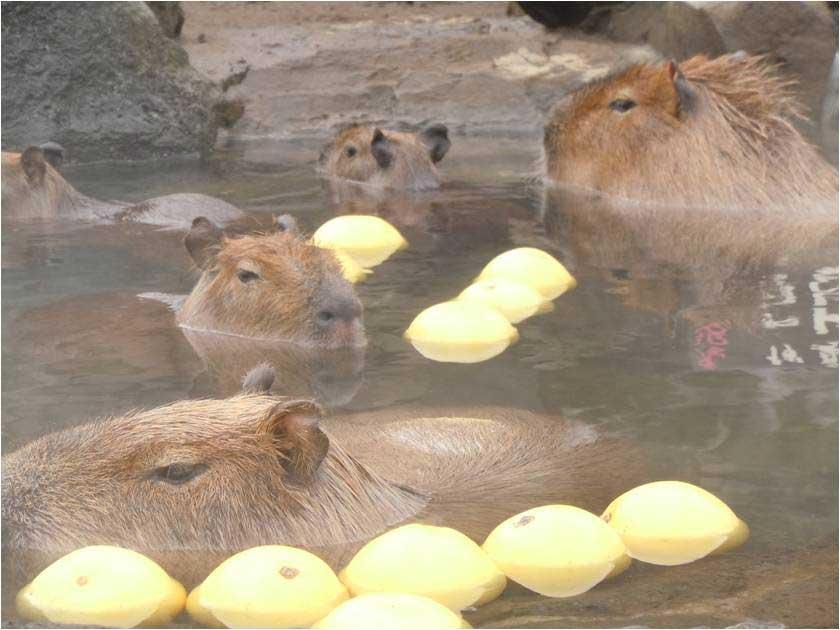 ババンバ、バンバンバン!「いい風呂の日」にカピバラ露天風呂でイベント