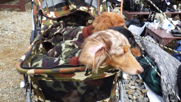迷彩乳母車の犬