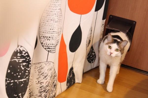 ねこシェアハウス299 保護猫しろまめ ねこシェアハウス299 保護猫おだやか豆