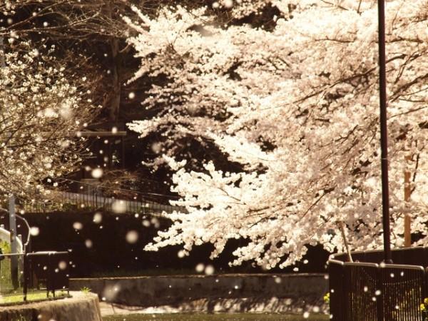 天気予報でよく使われる「花散らし」は実は隠語?
