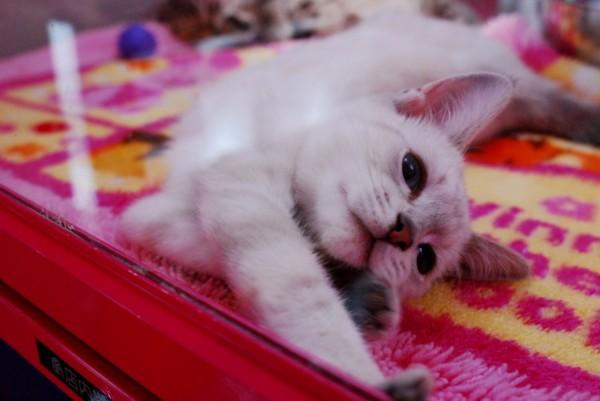 ペットショップで売られる猫