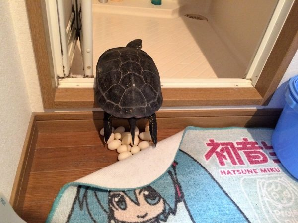 風呂場で産卵する亀が今年も話題に