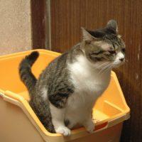 猫の謎行動「トイレハイ」パターン した後に「だだだだー」が最…