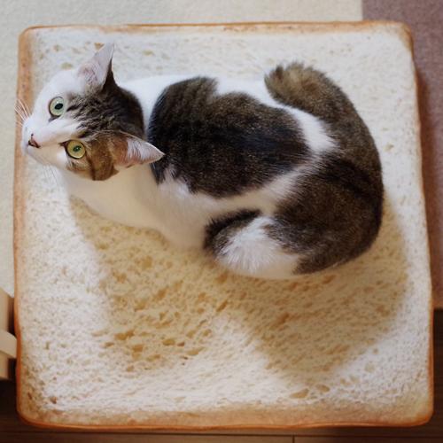 食パンクッションに乗った猫ちゃん まるでミニチュアの世界と大反響