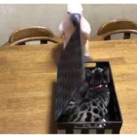 猫パンチ飛び出すビックリ箱 思わずオウムがとった笑撃のリア…