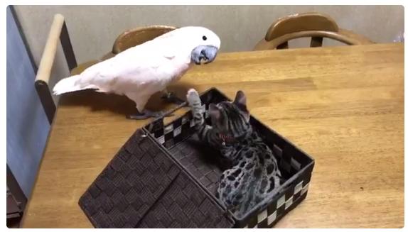 猫パンチ飛び出すビックリ箱 思わずオウムがとった笑撃のリアクション