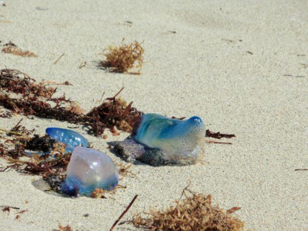 これビニール袋?キレイにみえるけど超危険な海のヤツにご注意!!