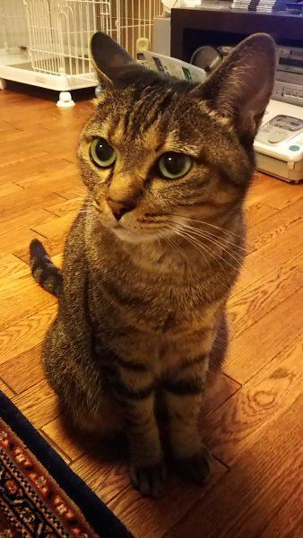 ご飯の「ご」と言っただけで期待のまなざしがアツい猫ちゃん