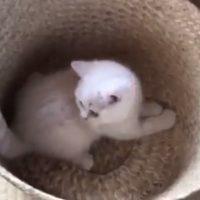遂に気付いてしまった!!子猫が尻尾グルグルしているこの可愛…