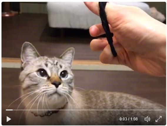 「なーい?ないよー?」延々と輪ゴムを探す猫が超キュート!