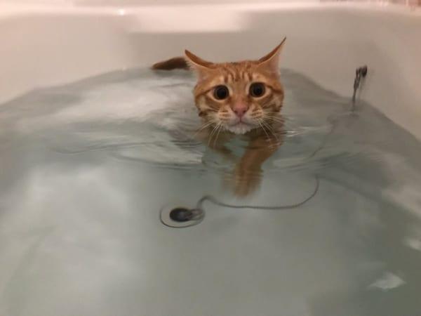 お風呂で猫かき?!風呂好き猫さんが湯船の中でスーイスイ