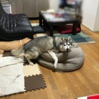 人をダメにするソファにダメにされた野性感0のハスキー犬が話題