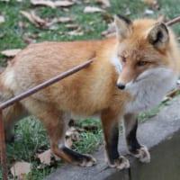 貫通している?「当たり判定がバグってる狐」のモフみが素晴ら…