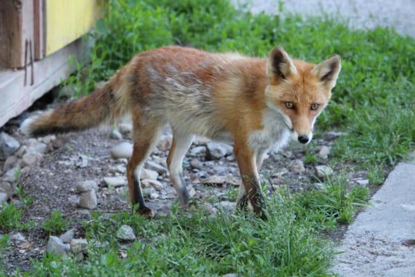 貫通している?「当たり判定がバグってる狐」のモフみが素晴らしい