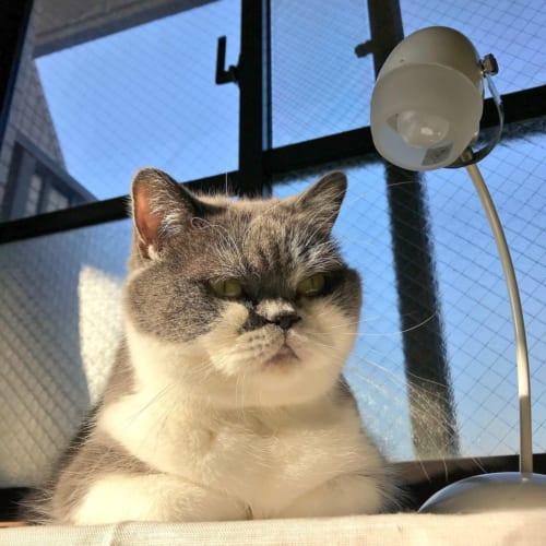 ニャンコ刑事は取り調べのプロ?眼光鋭い熟年刑事みたいな猫にネット民「何でも自白します」