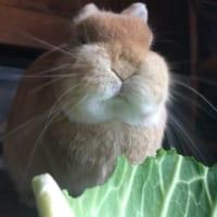 パリパリシャクシャク…キャベツを美味しそうに頬張るウサギが…