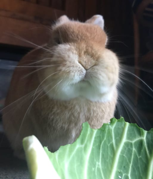 パリパリシャクシャク…キャベツを美味しそうに頬張るウサギがもっちりキュート