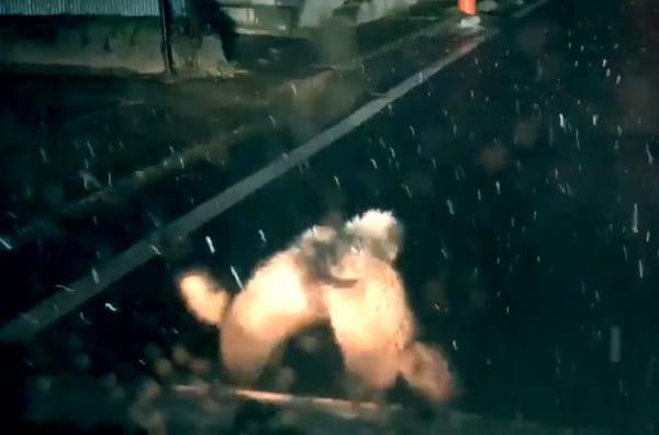 リアル平成狸合戦!路上で繰り広げられるタヌキたちのガチファイト