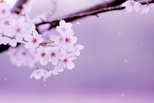 春に歌いたい「桜」ソング  DAMの1位と6位に「千本桜」