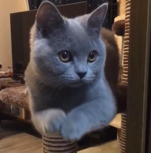 """猫の謎の動きが謎過ぎるけど可愛過ぎると話題です。 この猫はブリティッシュショートヘアのパティちゃん。現在生後6か月弱の女の子。パティちゃんがする""""ある しぐさ""""を ..."""