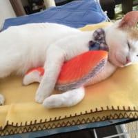 どんな夢を見ているのかな?鮭の切り身大好きな猫ちゃんの寝姿…
