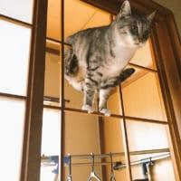 全日本障子枠クライミング大会猫の部?絶妙な運動神経に「メダ…