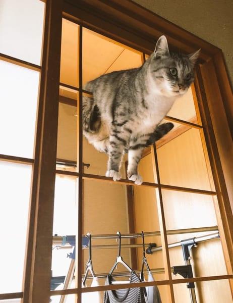 全日本障子枠クライミング大会猫の部?絶妙な運動神経に「メダル狙えるレベル」