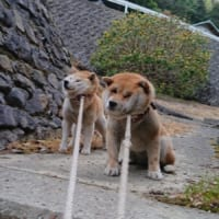 ゼッタイにイヤ!!動くの断固拒否な二匹の柴犬たち…