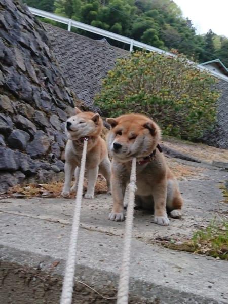 ゼッタイにイヤ!!動くの断固拒否な二匹の柴犬たちがブチャ可愛い!