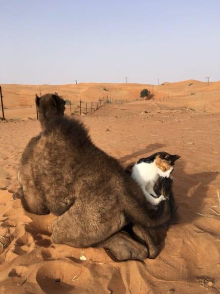 リアルブレーメンの音楽隊?親ラクダの上に子ラクダ……の上に、猫!