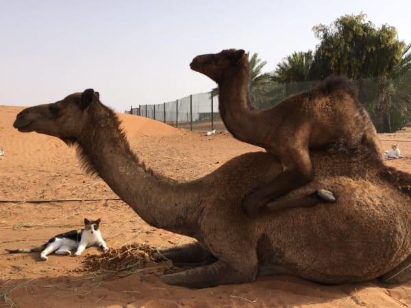 ラクダの画像 p1_19