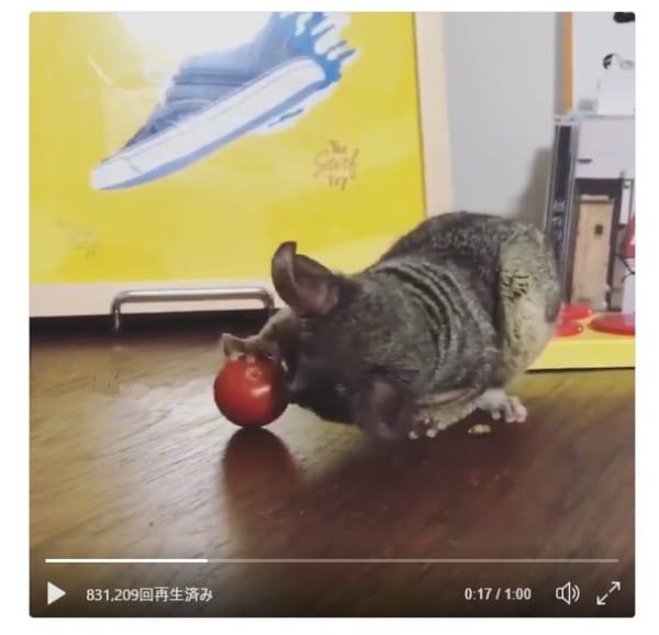 ボール遊びたのし……え?これミニトマト!!な表情のブッシュベイビーの様子が超キュート