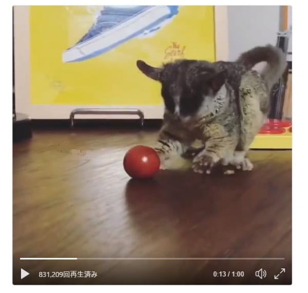 我打球......呃?这迷你番茄! !非常可爱的布什宝宝的外观超级可爱