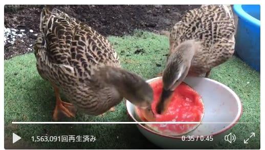ドドドドドドド スイカをものすごい勢いで食べるカモの姿が掘削工事のソレ