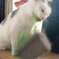 パワー系草食猫!荒ぶりまくった猫草の食べっぷりが…